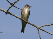 Olive-sided Flycatcher - photo by Phil Swanson