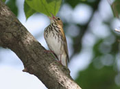 Ovenbird - photo by Phil Swanson
