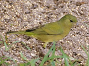 female Painted Bunting - photo by Phil Swanson