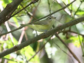 Philadelphia Vireo - photo by Phil Swanson