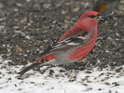 Pine Grosbeak - photo by Phil Swanson