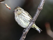 Pine Siskin - photo by Phil Swanson