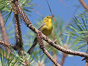 Pine Warbler - photo by Phil Swanson