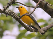 female Prothonotary Warbler - photo by Phil Swanson