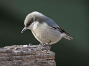 Pygmy Nuthatch - photo by Phil Swanson