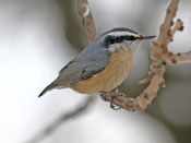 Red-breasted Nuthatch - photo by Phil Swanson