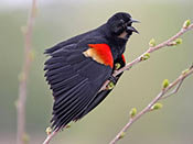 male Red-winged Blackbird - photo by Phil Swanson