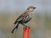 female Red-winged Blackbird - photo by Phil Swanson