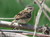 female Rose-breasted Grosbeak - photo by Phil Swanson