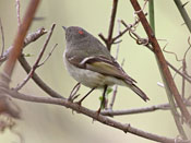Ruby-crowned Kinglet - photo by Phil Swanson