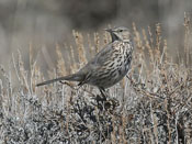 Sage Thrasher - photo by Phil Swanson