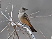Say's Phoebe - photo by Phil Swanson