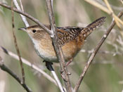 Sedge Wren - photo by Phil Swanson