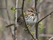 Song Sparrow - photo by Phil Swanson