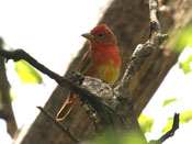 male Summer Tanager - photo by Phil Swanson