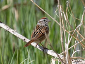 Swamp Sparrow - photo by Phil Swanson