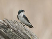 Tree Swallow - photo by Phil Swanson