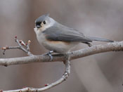 Tufted Titmouse - photo by Phil Swanson