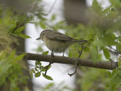 Warbling Vireo - photo by Phil Swanson