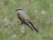 Western Kingbird - photo by Phil Swanson