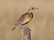 Western Meadowlark - photo by Phil Swanson