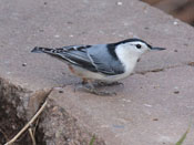 White-breasted Nuthatch - photo by Phil Swanson