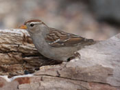 juvenile White-crowned Sparrow - photo by Phil Swanson