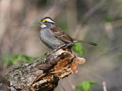 White-throated Sparrow - photo by Phil Swanson
