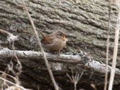 Winter Wren - photo by Phil Swanson