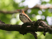 Wood Thrush - photo by Phil Swanson