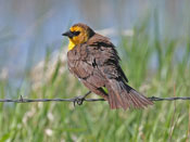 female Yellow-headed Blackbird - photo by Phil Swanson
