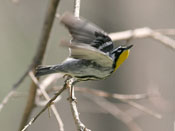 Yellow-throated Warbler - photo by Phil Swanson