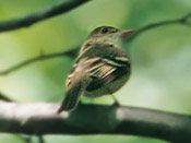 Acadian Flycatcher - photo by Phil Swanson