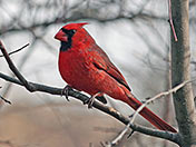 Male Cardinal in Winter - photo by Phil Swanson
