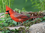 Male Cardinal - Summer. - photo by Phil Swanson