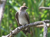 Northern Rough-winged Swallow - photo by Phil Swanson