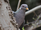 Band-tailed Pigeon - photo by Phil Swanson