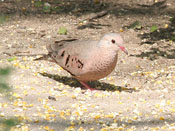 Common Ground-Dove - photo by Phil Swanson