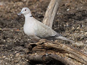 Eurasian Collared Dove - photo by Phil Swanson