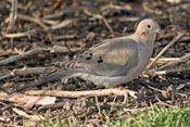 female Mourning Dove - photo by Phil Swanson