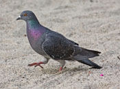 Rock Dove - photo by Phil Swanson