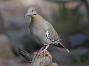 White-winged Dove - photo by Phil Swanson