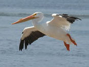American White Pelican - photo by Phil Swanson