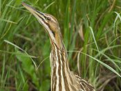 American Bittern - NEBRASKAland Magazine/Nebraska Game and Parks Commission