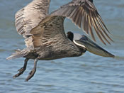 Brown Pelican - photo by Phil Swanson