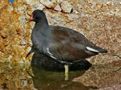 Common Moorhen - photo by Phil Swanson