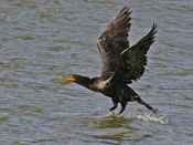 Double-crested Cormorant - photo by Phil Swanson