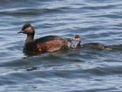 chick Eared Grebe - photo by Phil Swanson