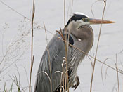 Great Blue Heron - photo by Phil Swanson