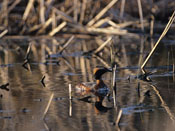 male Horned Grebe - NEBRASKAland Magazine/Nebraska Game and Parks Commission.